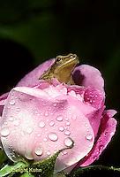 FR16-022a  Spring Peeper Tree Frog - sitting in a rose -  Pseudacris crucifer, formerly Hyla crucifer
