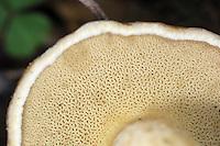 Boletus variegatus