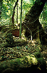 Buttress Tree in Jungle, Monterverde, Costa Rica, Central America.Costa Rica....