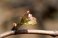 bud burst on the vine and counter-bud contre-bourgeon ch moulin du cadet saint emilion bordeaux france