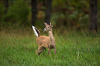 White-tailed fawn ready to bolt.