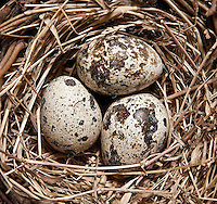 Bird nest with eggs.