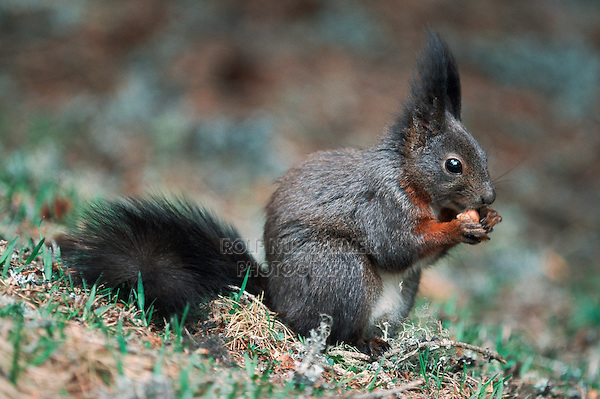 Red squirrel (Sciurus vulgaris), adult black phase, Switzerland