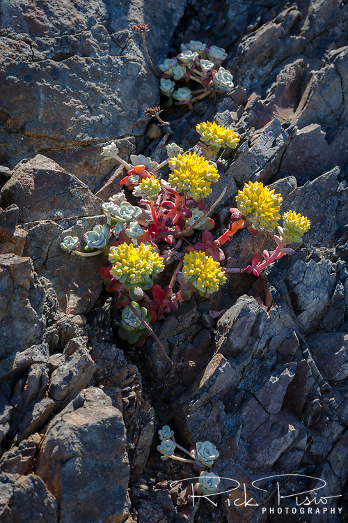 Succulents cling to the cliffside at the oceans edge at Point St. George along the Northern California Coast near Crescent City.
