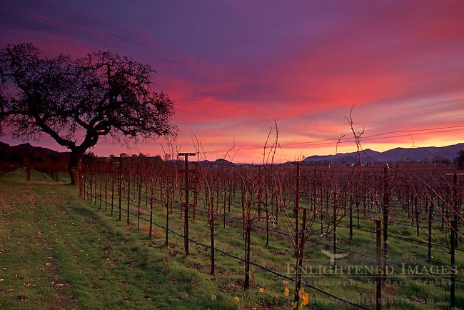 Winter sunset over vineyard along the Silverado Traill, Napa Valley Napa County, California