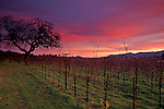 Winter sunset over vineyard along the Silverado Traill, Napa Valley Napa County, California