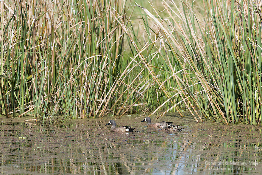 Brazoria County, Damon, Texas; two male and one female Blue-winged Teal (Anas discors) ducks swimming on the surface of the slough in early morning sunlight