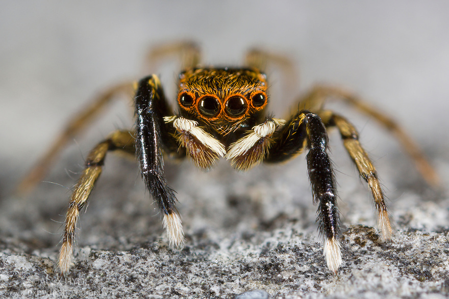 Male Jumping spider {Euophrys frontalis} from limestone quarry, Peak District National Park, Derbyshire, UK.