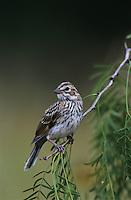 Lark Sparrow, Chondestes grammacus, young, Willacy County, Rio Grande Valley, Texas, USA, June 2004