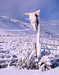 Cow skull on snow laden fence, ranch in the Sierra Nevada, California