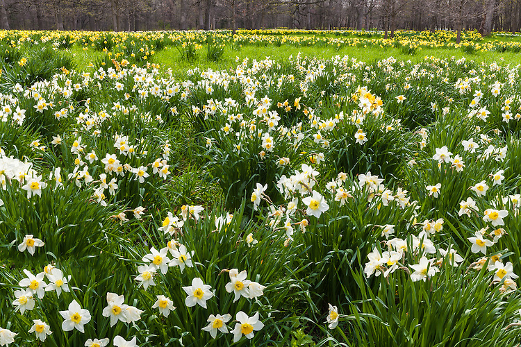 Daffodils (Daffodil pseudonarcissus) in bloom in the Daffodil Glade at The Morton Arboretum; Lisle, IL