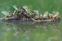 Edible Frog (Rana esculenta), adults on log, Switzerland