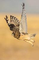 A juvenile Short-eared Owl takes flight.