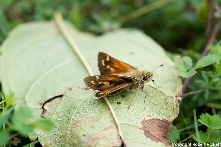 Silver Spotted Skipper Butterfly, Hesperia comma, Queensdown Warren, Kent Wildlife Trust, UK, small resting on leaf on ground