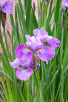 Iris sibirica Granny Jean AGM in spring flowers