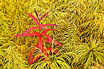 Bright red fall colored fireweed surrounded by yellow colored horsetails along Dalton Hwy, Arctic Alaska, Autumn.