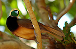 Empress of Germany Bird of Paradise Young Male