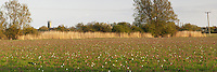 Snakeshead Fritillaries in full bloom in North Meadow Nature Reserve, Cricklade, Wiltshire, Uk