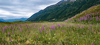 Summer wildflowers at Turnagain Pass in Chugash National Forest on Kenai Peninsula, Alaska; panorama
