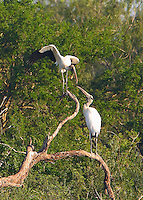 Two wood storks exchanging greetings?