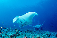 Two Manta rays, Manta alfredi, Maldives Island, Indian Ocean, Ari Atol (atoll)