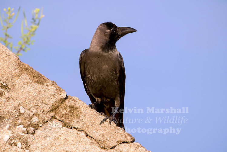 large-billed crow (Corvus macrorhynchos), is a widespread Asian species of crow. It is very adaptable and is able to survive on a wide range of food sources, making it capable of colonizing new areas, due to which it is often considered a nuisance, especially on islands.