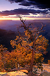 Sunset light on pine tree at Yavapai Point, South Rim, Grand Canyon National Park, Arizona