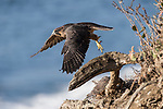 La Jolla, California; a juvenile Peregrine Falcon (Falco peregrinus) spreads its wings and takes flight, while one of its two siblings is perched below on a cliff with the Pacific Ocean in the background