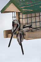 Schwanzmeise, Schwanz-Meise, an der Vogelfütterung, Fütterung im Winter bei Schnee, an Häuschen mit Fettfutter, Energiekuchen, Winterfütterung, Meise, Aegithalos caudatus, long-tailed tit, Mésange à longue queue