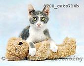 Xavier, ANIMALS, cats, photos, SPCHCATS714B,#A# Katzen, gatos
