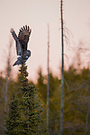 Great Gray Owl (Strix nebulosa) taking flight, Manitoba, Canada