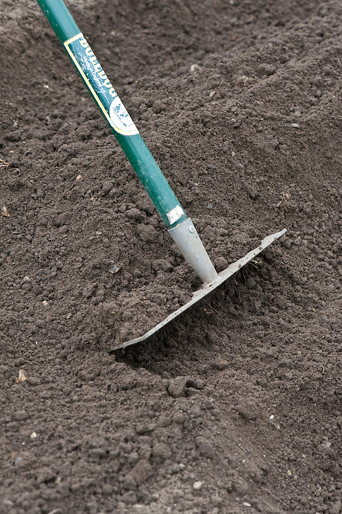Planting seed potatoes. After planting, use a rake to draw the soil up into a ridge.