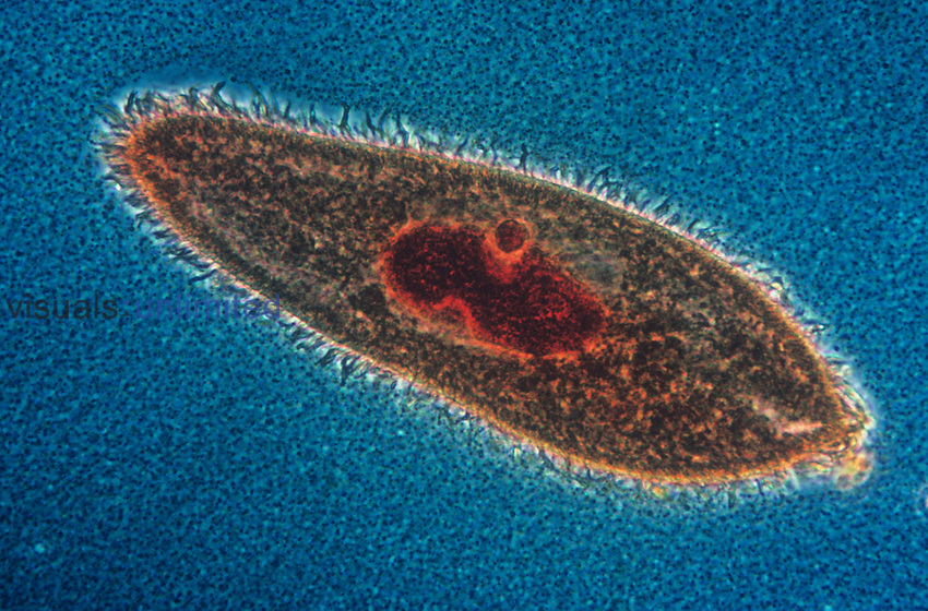 Paramecium caudatum Ciliate Protozoa with a stained nucleus. LM X150.