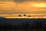 Three Sandhill Cranes in flight with the sun setting in the background, Bosque del Apache National Wildlife Refuge, New Mexico December 16, 2007.  Photo by Gus Curtis