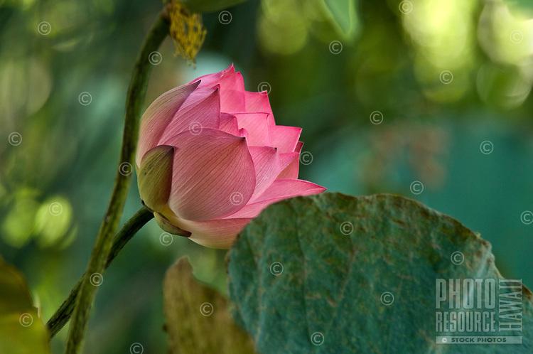Pink lotus flower in green foliage