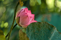 Pink lotus flower in green foliage