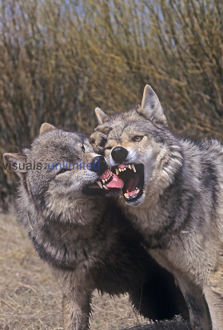 Gray Wolves (Canis lupus) fighting for a position in their pack. North America.