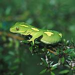 gecko, new zealand