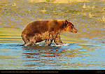 Alaskan Coastal Brown Bear, Old Scarred Male on Bank, Silver Salmon Creek, Lake Clark National Park, Alaska