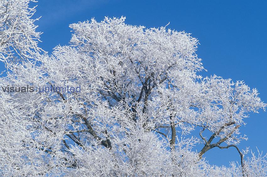 Hoarfrost on winter trees.