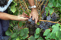 A vineyard worker harvesting a bunch of Grenache Noir grapes in Collioure, Languedoc-Roussillon, France