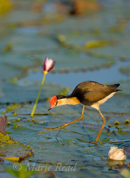 Comb-crested Jacana (Irediparra gallinacea), adult walking on lilypad, Yellow Water, Kakadu National Park, Northern Territory, Australia
