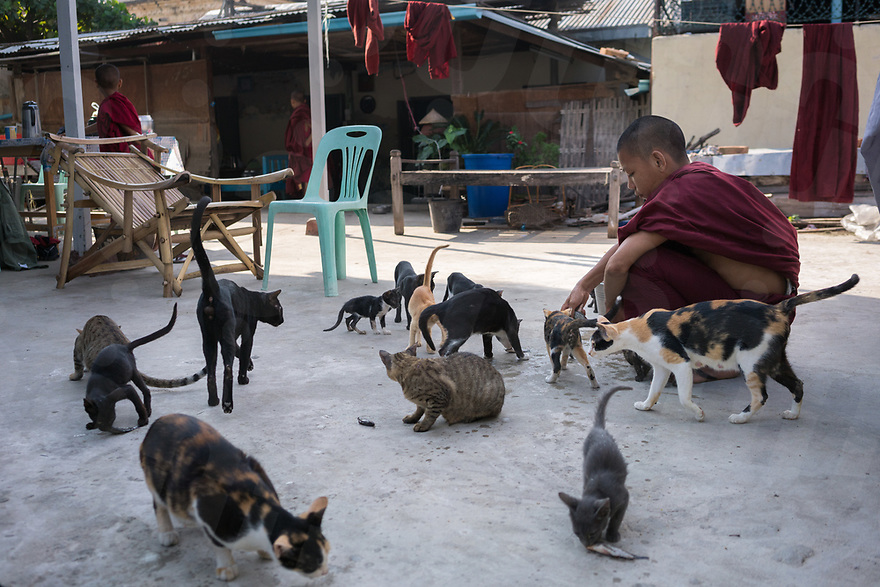 October 26, 2015 - Mandalay (Myanmar). A young assistant of U Kar Wi Ya, feeds the cats that live in the compound with them. The monk - also known as Ga Lone Ni Sayataw - is one of the few Buddhist monk who publicly stands against Ma Bah Tha. He spent 20 years in jail accused with sedition against the military junta. © Thomas Cristofoletti / Ruom