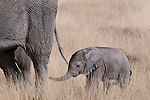 Young African elephant calf following its mother, Etosha National Park, Namibia. (This species is found in many African countries including South Africa, Botswana, Zambia, Zimbabwe, Namibia, Tanzania, Kenya, Rwanda, Uganda, Angola, Democratic Republic of Congo)