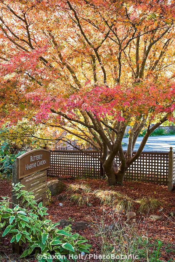 Japanese maple (Acer palmatum) in the butterfly habitat garden in autumn at Marin Art & Garden Center