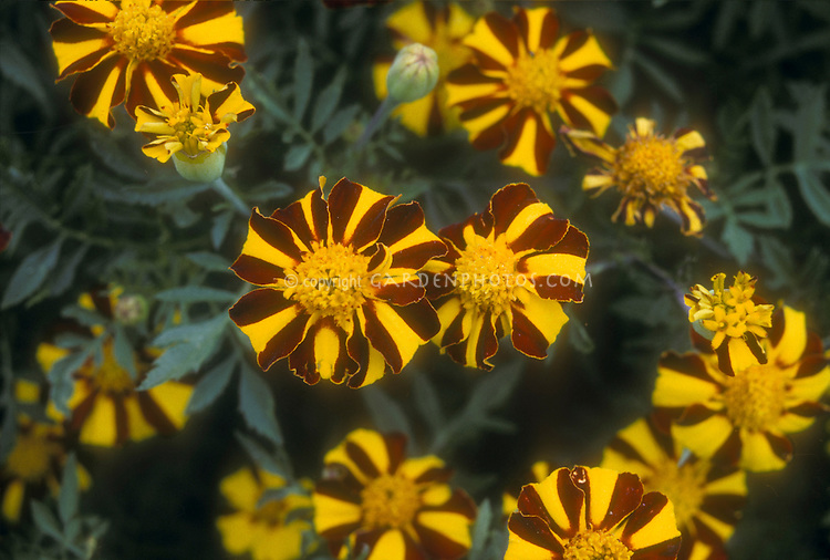 Marigolds Scotch Pride, striped yellow and red heirloom annual flowers, Tagetes