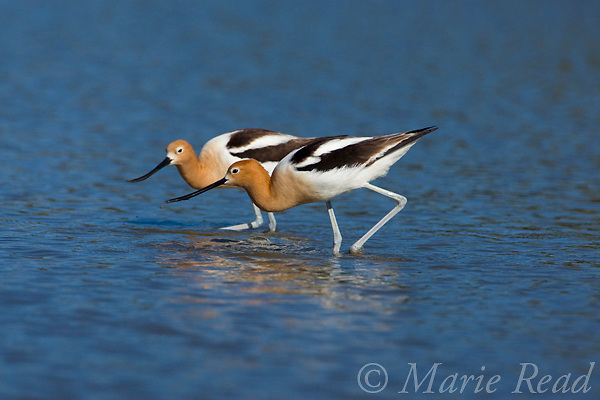American Avocets(Recurvirostra americana), pair foraging, Orange County, California, USA