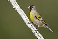 Lawrence's Goldfinch - Carduelis lawrencei - male