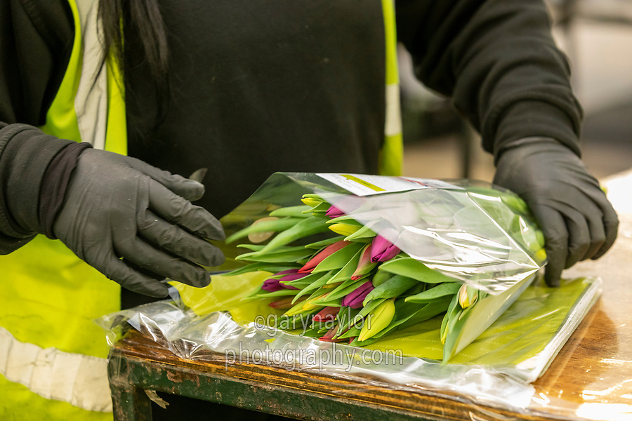 Migrant labour packing indoor tulips - Lincolnshire, February