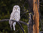 Partially leucistic great gray owl. Grand Teton National Park, Wyoming.